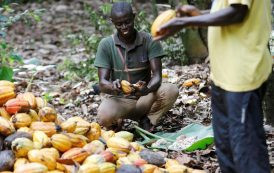 Cacao : La Côte d'Ivoire vise une transformation d'un million de tonnes